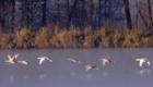 Аксаковские лебеди. Первый полет