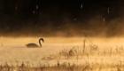 Аксаковские лебеди. Рассвет