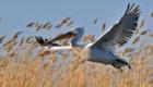 Аэробус. Кудрявый пеликан