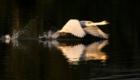 Лебеди в Аксаково