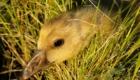 Птенец серого гуся
